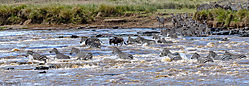 Migrating_Wildebeest_and_Zebra_crossing_the_Mara_river.jpg