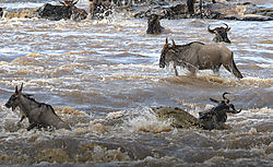 Nile_Crocodile_take_Wildebeest_while_crossing_the_river-2.jpg