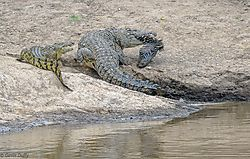 Two_Nile_Crocodiles_tussle_over_a_crossing_casualty.jpg