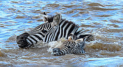 Zebra_mare_cautiously_guides_her_foal_across_the_dangerous_river_.jpg
