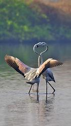 Flamingo_Courting.jpg