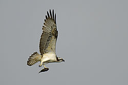 Osprey_with_Fish1.jpg