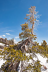 Donner_Summit_Bristlecone_Pine_and_Snow_1_0232-01.jpg