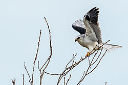 Birds_of_Prey_0009.jpg