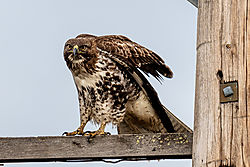 Birds_of_Prey_0043.jpg
