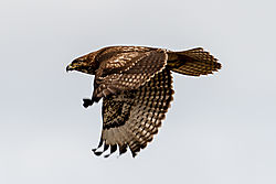 Birds_of_Prey_0046.jpg