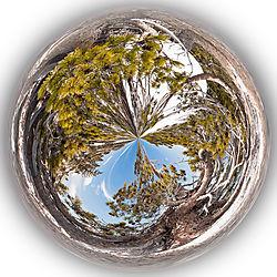 Donner_Summit_Bristlecone_Pine_and_Snow_1_0232-02.jpg