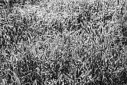 Roseville_Native_Grass_2021-0145.jpg