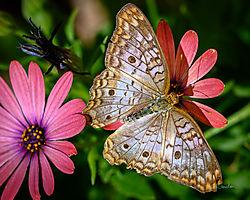 2019_04_17_DBG_Butterflies_9663_FTC.jpg
