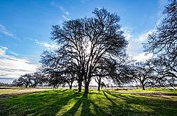 Roseville_Back-Lit_Oak_Tree_2021-0919.jpg