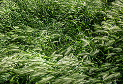 Roseville_Native_Grass_and_Foxtails_2021-5191.jpg