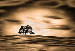 DA_-_B-W_4_Lone_Oak.jpg