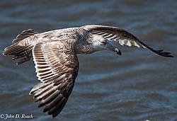 Heron_Gull.jpg