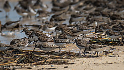Little_Shorebirds.jpg