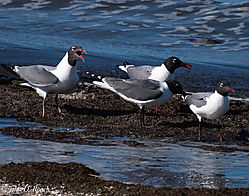 Shorebirds_at_Reed_s_Beach-2.jpg