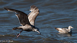 Shorebirds_at_Reed_s_Beach-5.jpg