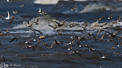 Shorebirds_at_Reed_s_Beach-7.jpg