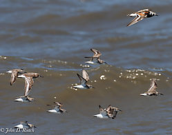 Shorebirds_at_Reed_s_Beach-8.jpg