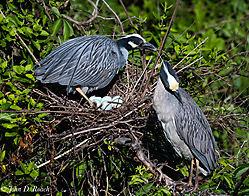 Variaty_of_Birds_at_the_Ocean_City_Rookery-6.jpg
