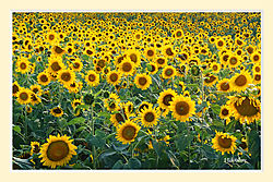 Holcombe_Farm_Sunflowers5S2crop.jpg