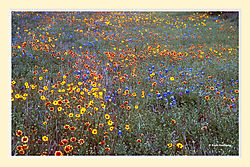 Spring_on_a_Texas_Roadside3.jpg