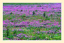 Spring_on_a_Texas_Roadside4.jpg