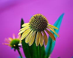 Echinacea_Cornflower.jpg