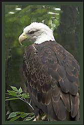 Eagle36.JPG