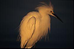 Egret-002.JPG