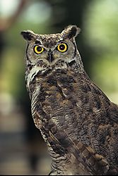 Owl-0011.JPG
