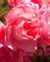 San_Jose_Municipal_Rose_Garden_0048.jpg