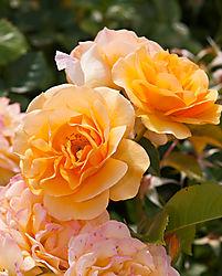 San_Jose_Municipal_Rose_Garden_0075.jpg