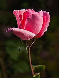 San_Jose_Municipal_Rose_Garden_0224.jpg