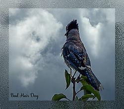 Bakyard_Blue_Jay_on_rainy_windy_day.jpg