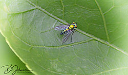 Final_Fly_on_leaf.jpg