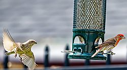 House_Finch_Wait_for_me.jpeg