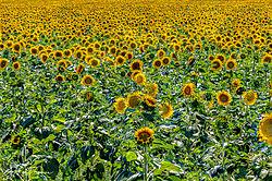 Sunflowers-1534-150.jpg