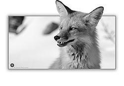 B_W_Red_Fox.jpg