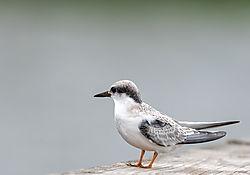 Common_Tern.jpg