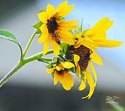 Sunflower-1092.jpg