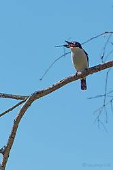 Forrest_Kingfisher1.jpg