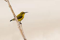 Yellow_Bellied_Sunbird-2.jpg