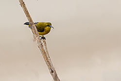 Yellow_Bellied_Sunbird.jpg