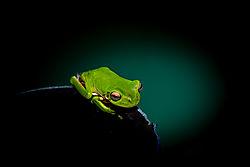 Green_Tree_Frog-3.jpg