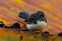 Willy_Wagtail_1.jpg