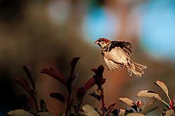 Sparrow_21.jpg