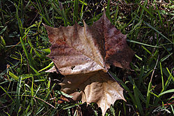 sycamore_leaf_structure.jpg