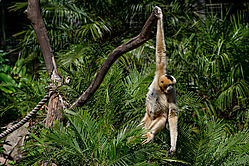 White_Cheeked_Crested_Gibbon-3.jpg