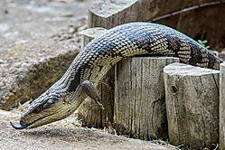 Southern_Bluetongue_Lizard-2.jpg
