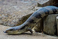 Southern_Bluetongue_Lizard-3.jpg
